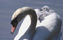Cygnets on board