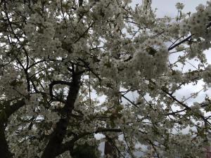 white cherry blossoms kits